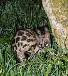 Spotted Genet visiting us on the Otter Trail