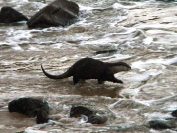 Otter on the Otter Trail