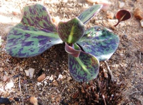 Cederberg plants