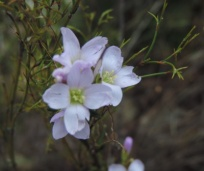 Boesmanskloof Hiking Trail wild flowers