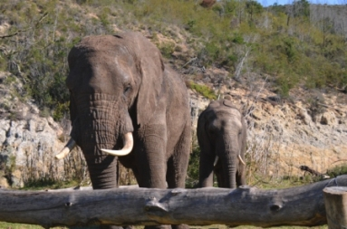 Botlierskop Private Game Reserve Elephants