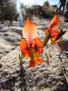 A beautiful dwarf wild Gladiolus Gladiolus alatus in the Cederberg Mountains Cape South Africa