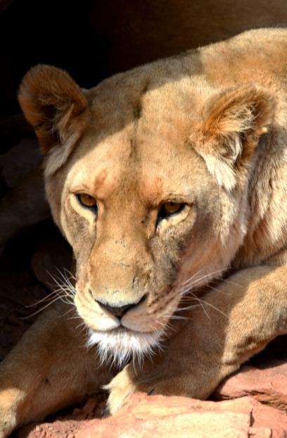 Aquila Game Reserve Lions