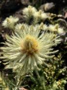 featherhead bush