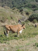 Hiking past cattle in the Transkei Valleys