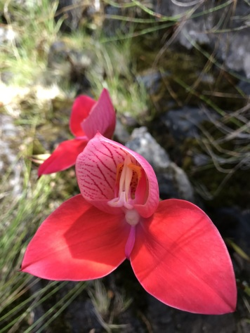 Red Disas (Disa uniflora