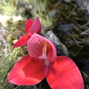 Red Disas (Disa uniflora
