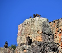 Watching the baboons