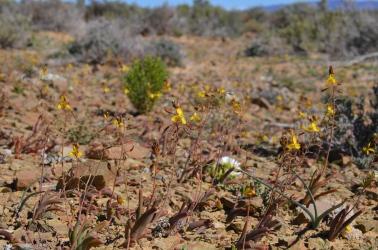 Spring Flowers at Sadawa in the Tankwa Karoo