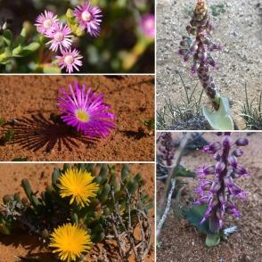 Vygies – or mesembryanthemums