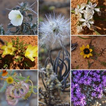 Spring Flowers of the Tankwa Karoo