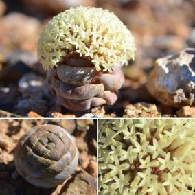 Crassula columnaris or Koesnaatjie